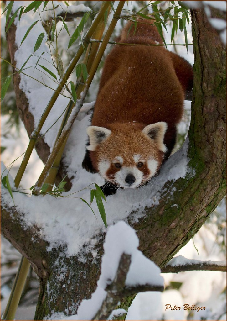 Lesser panda - December 2014