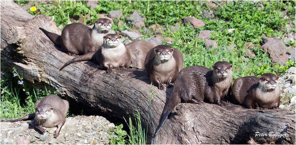 Oriental short-clawed otter