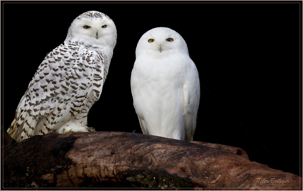 Snowy owls couple
