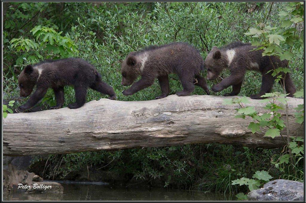 Brown bear babies