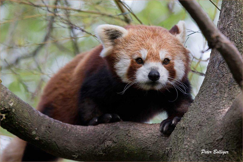 Lesser panda - April 2014