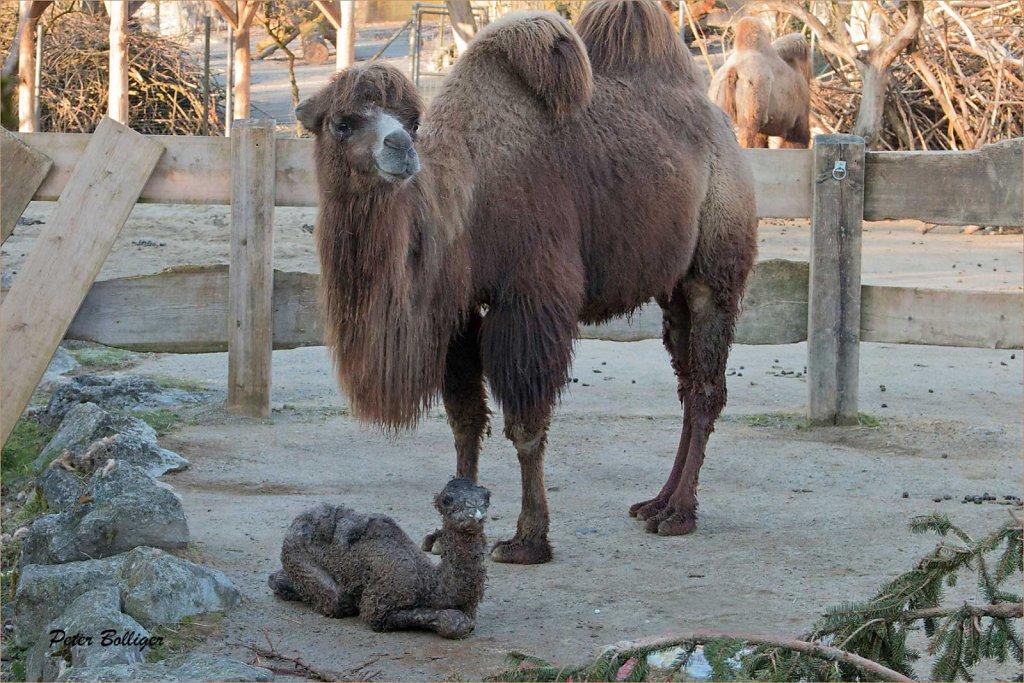 Bactrian camel - April 2015
