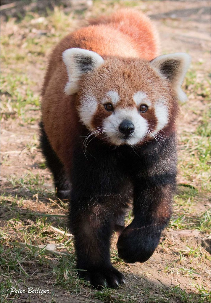 Lesser Panda - March 2015