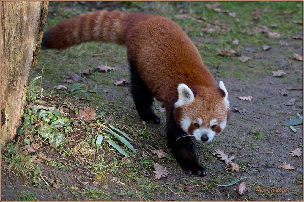 Lesser panda- January 2014