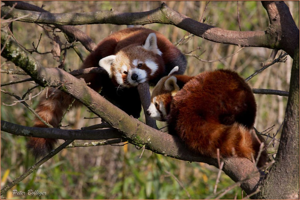 Lesser panda - March 2014