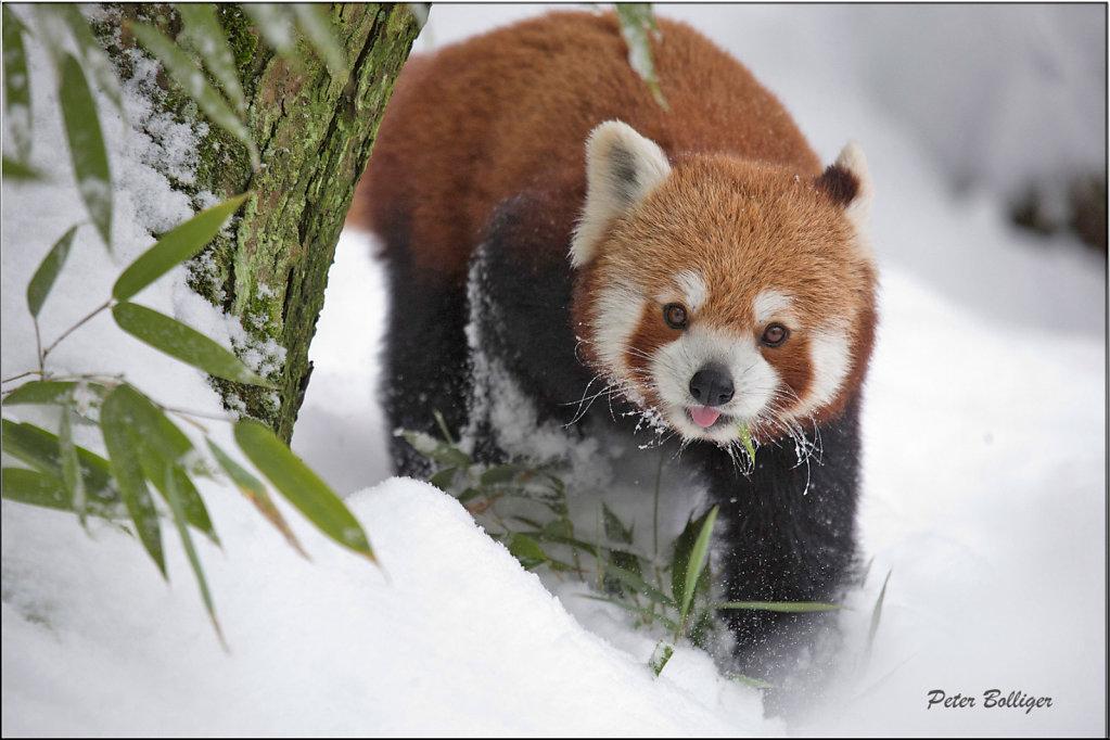 Lesser panda -December 2014