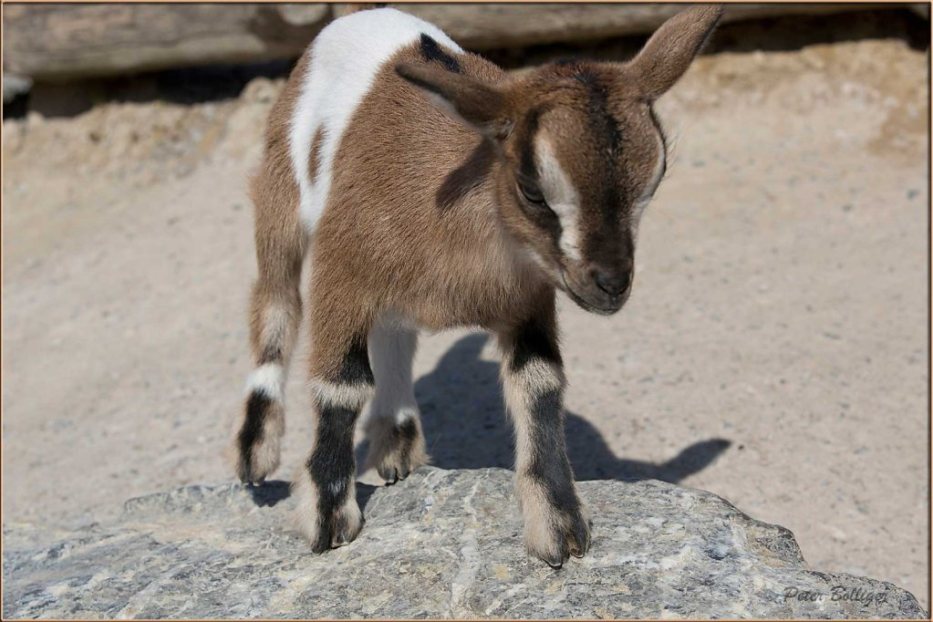 Pygmy goat - April 2014