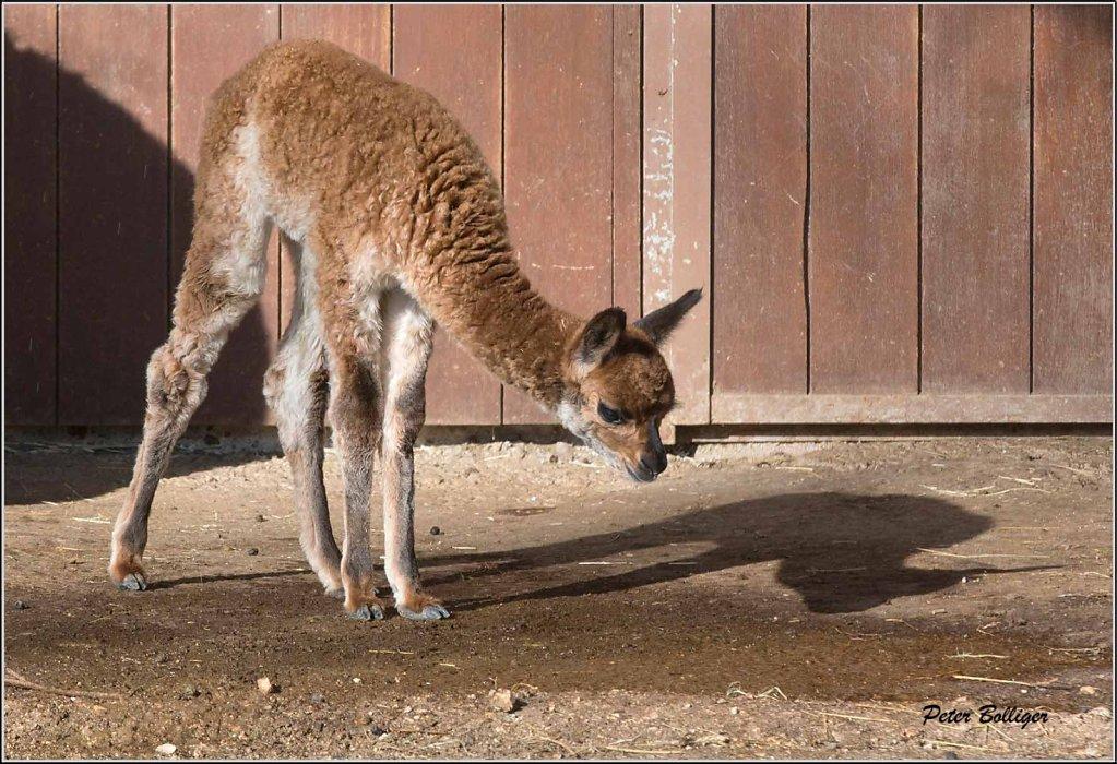 Alpaca baby - February 2013