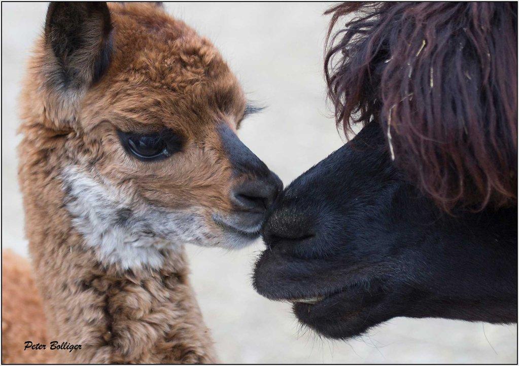 Alpaca baby - March 2013