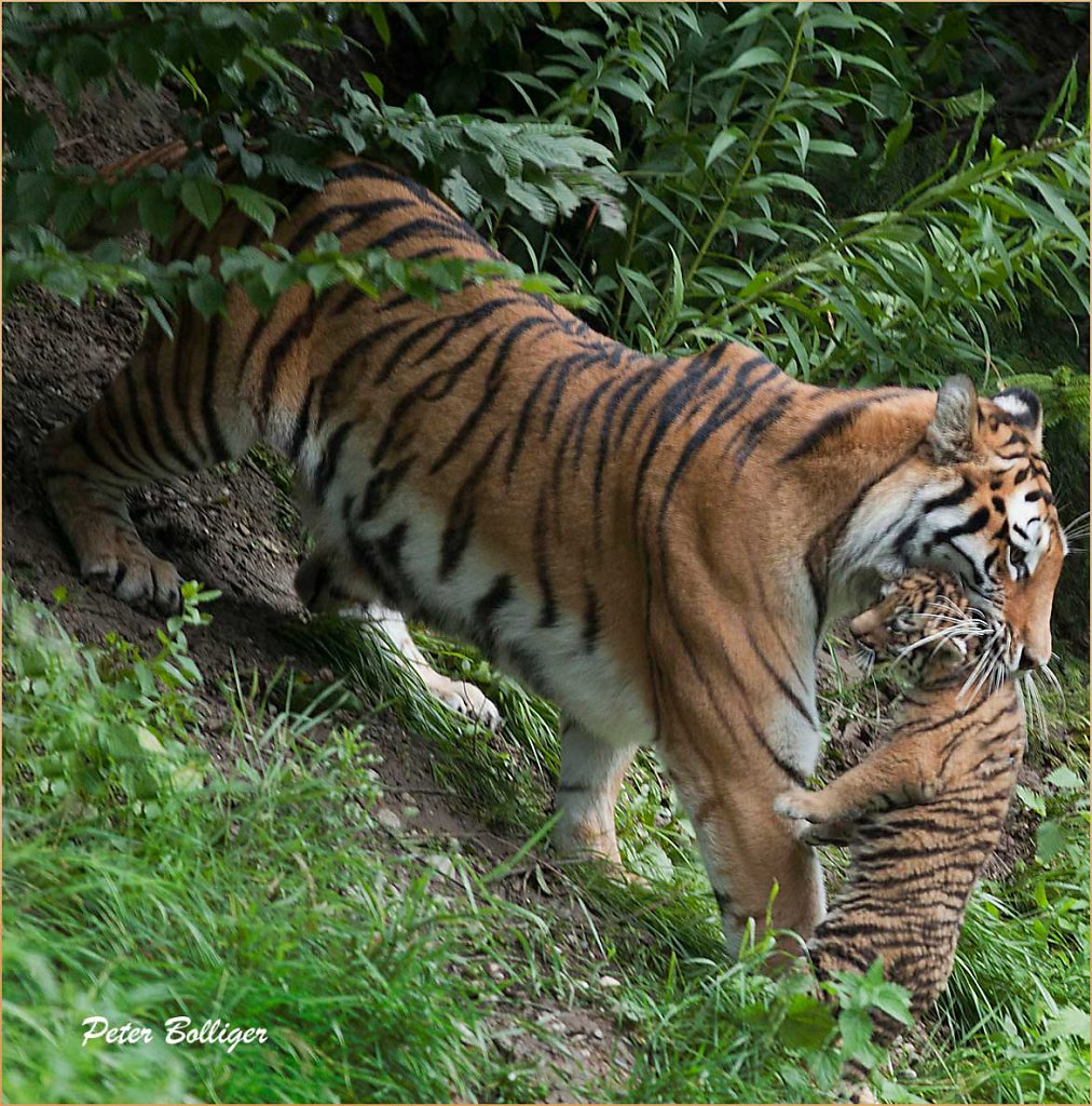 2011 The Amur tiger cubs