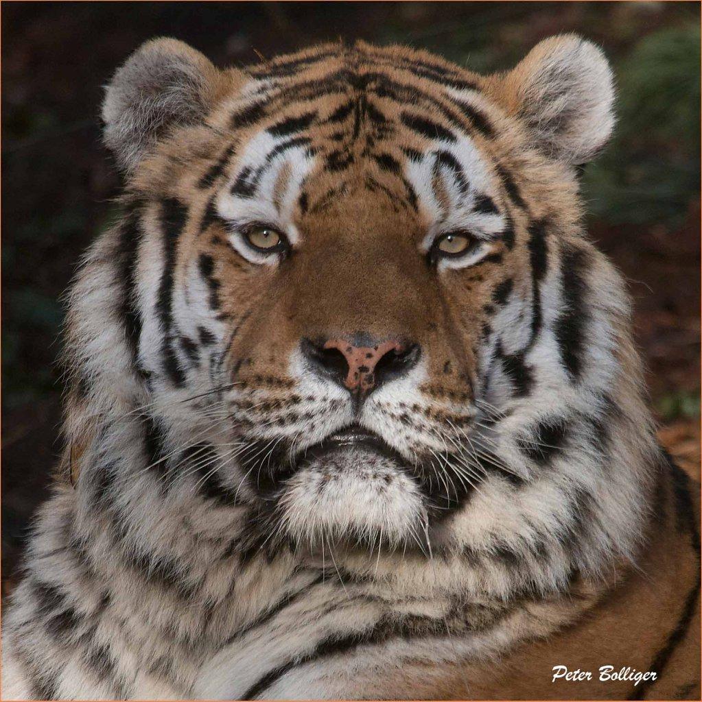 Amur tiger Coto