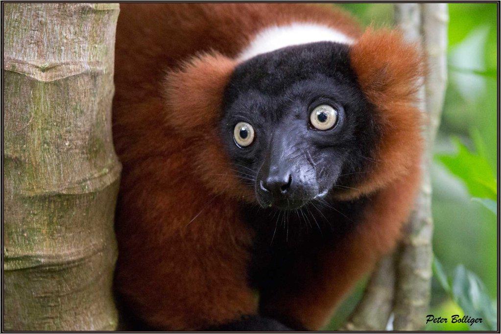 Red ruffed lemur / Roter Vari