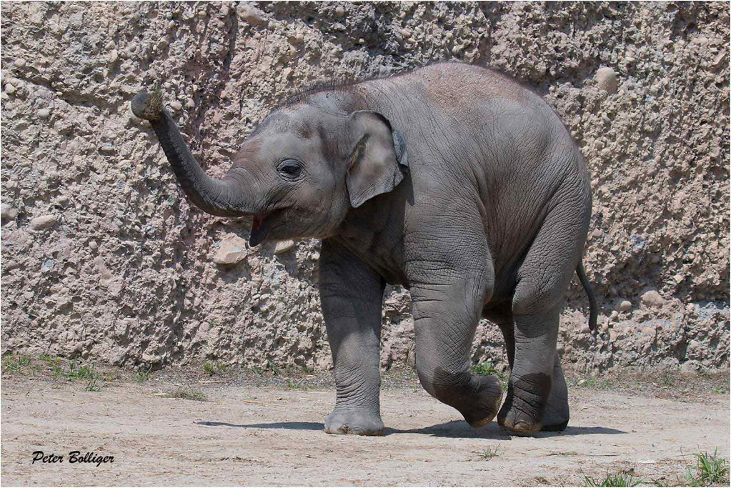 Asiatic elefant