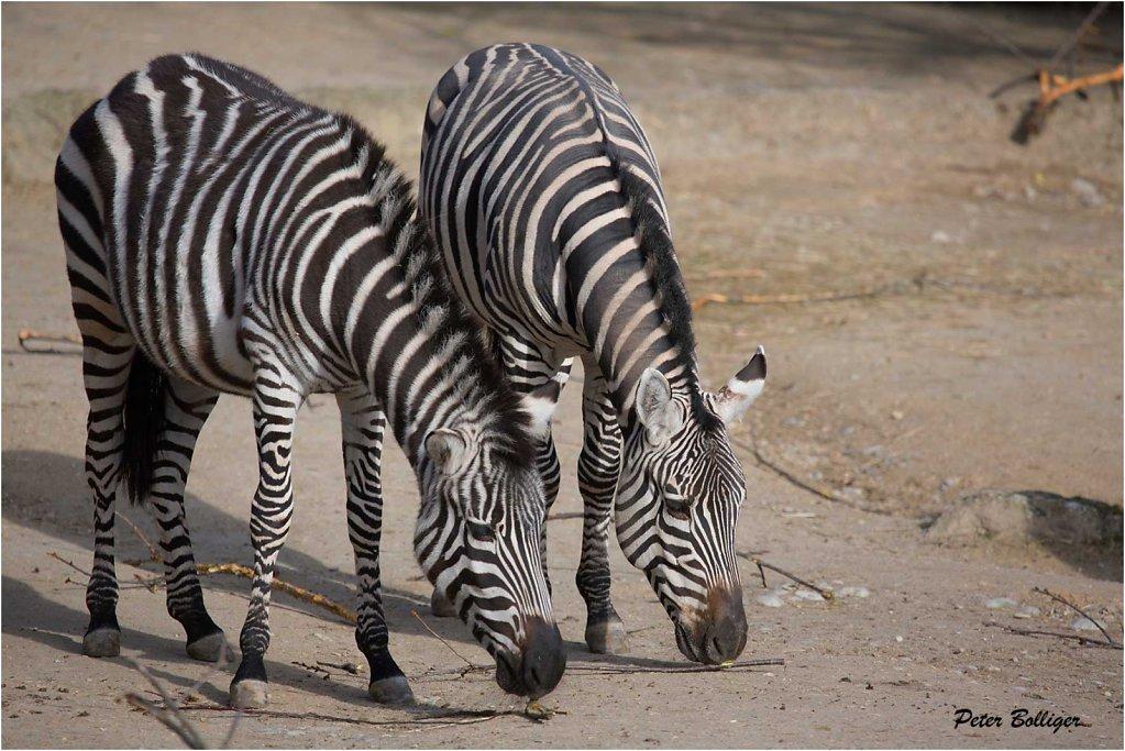 Zebras - Zoo Basel