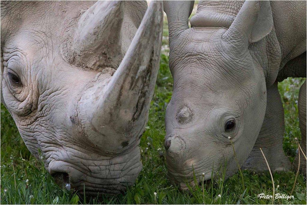 Black rhinoceros - Zoo Zürich