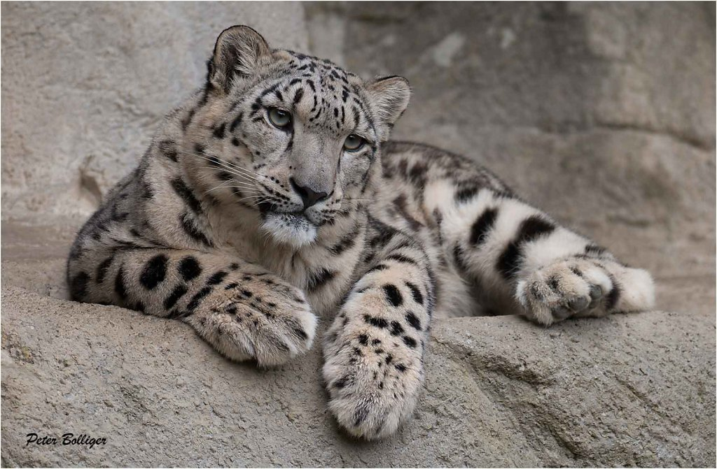 2015 Snow leopards-  Zoo Zürich
