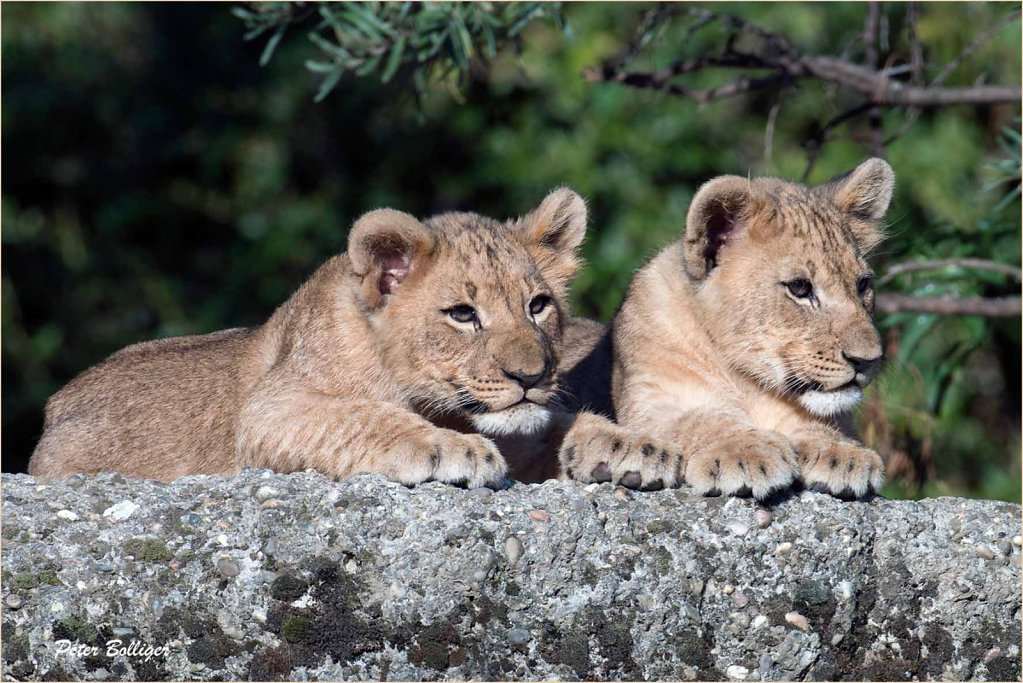 African lion cubs  - Sept. 2015