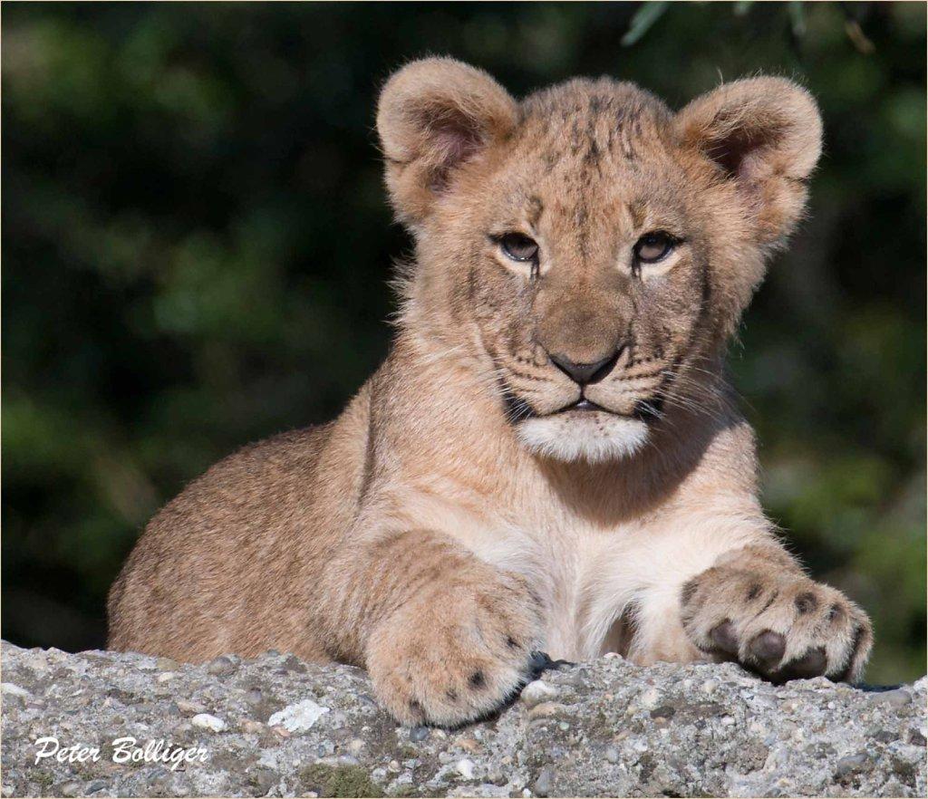 African lion cub - Sept. 2015