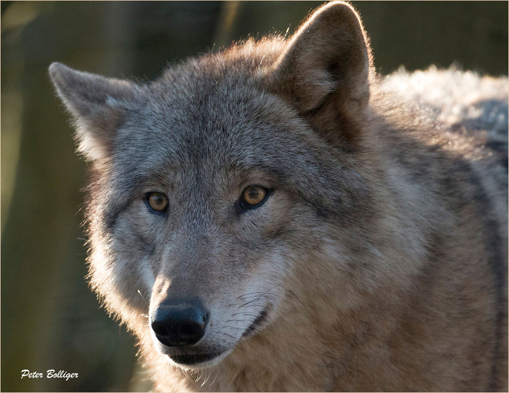 Mongolian wolf