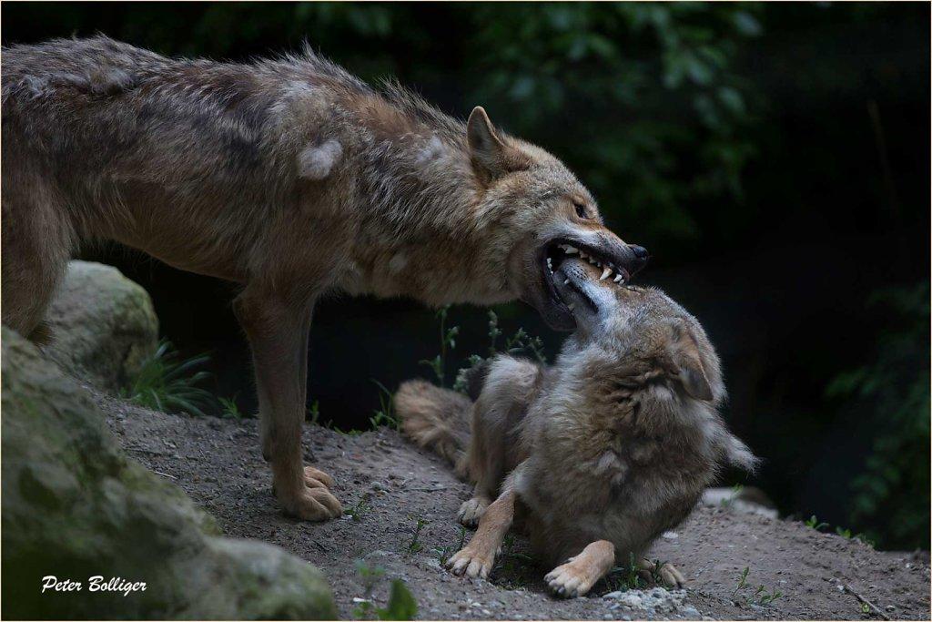 Mongolian wolves - Zoo Zürich 2013