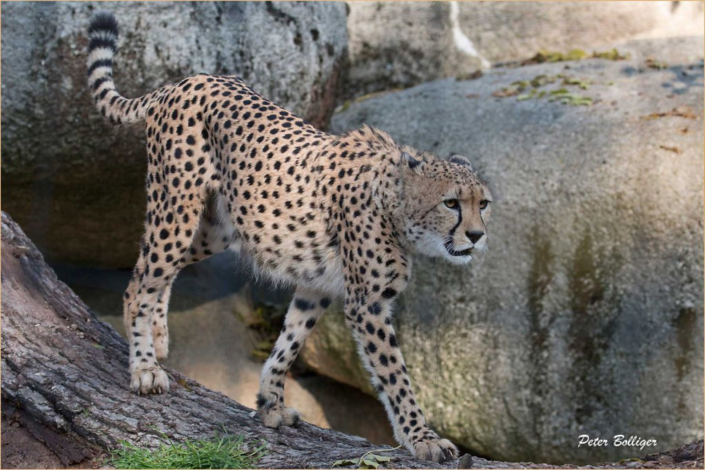 Cheetah - Zoo Basel 2015