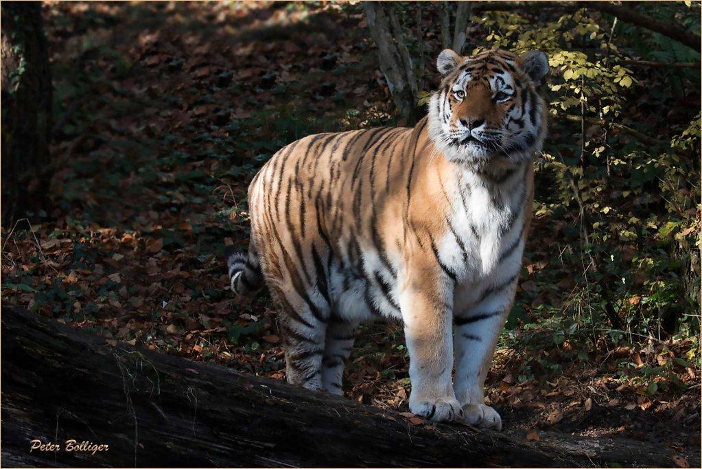 Amur tigers 2015