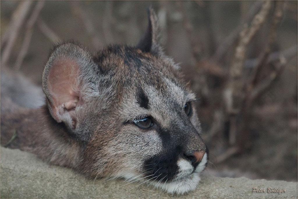 Cougar - November 2015
