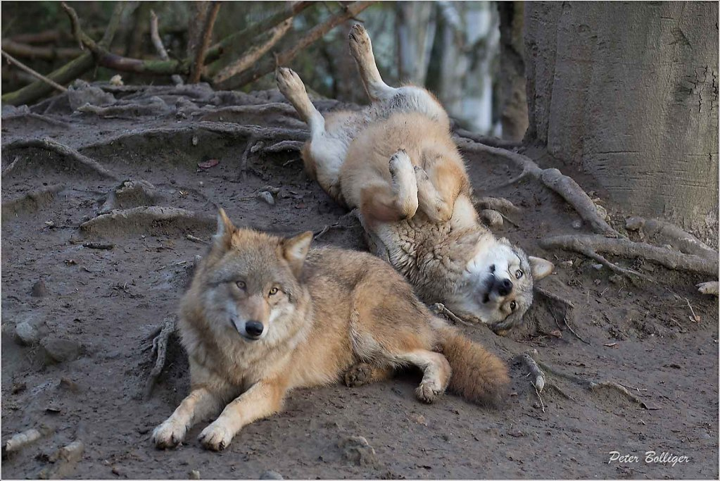 Mongolian wolves - Zoo Zürich 2015
