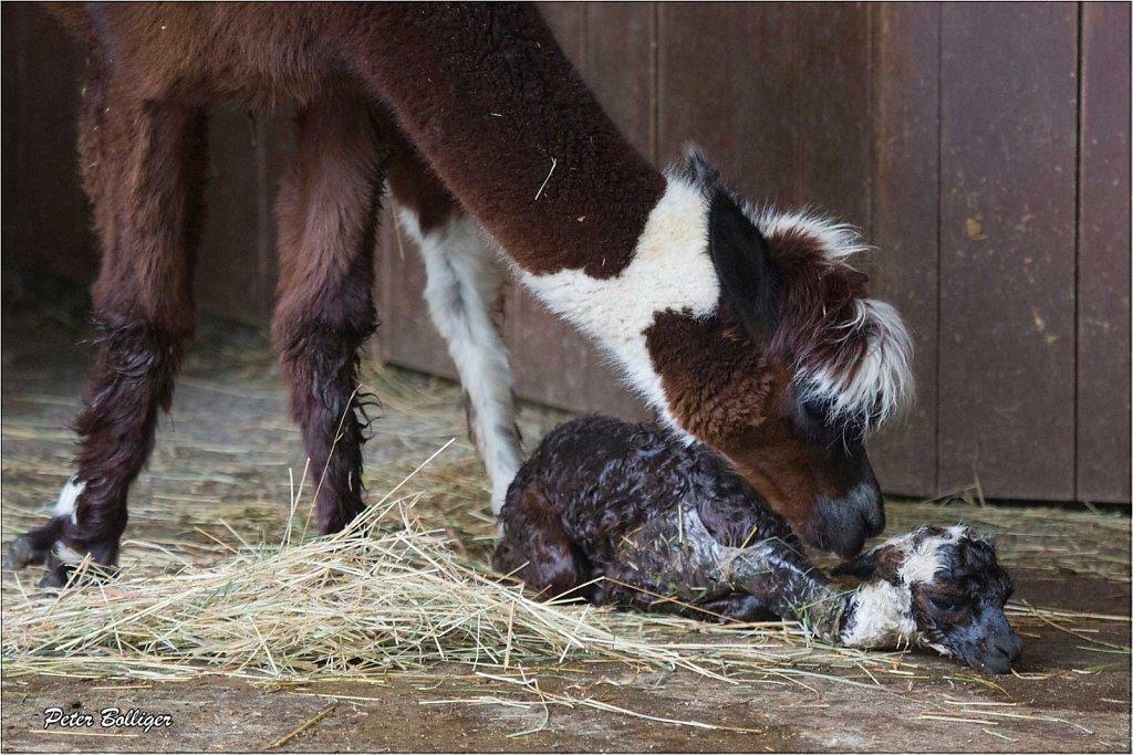 Alpaca just born - September 2013
