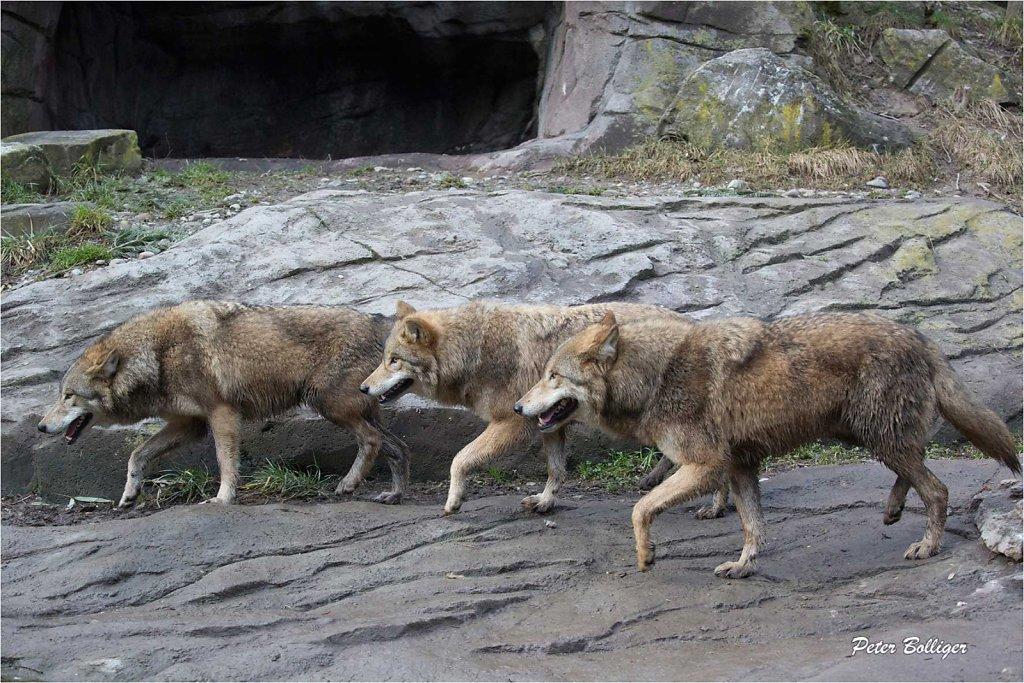 Mongolian wolves - Zoo Zürich 2016