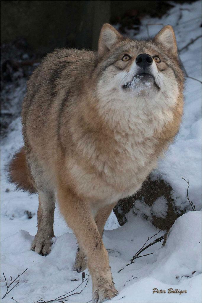 Mongolian wolf Naja - Zoo Zürich 2016