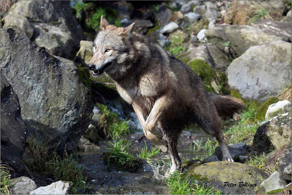 Mongolian wolf - Zoo Zürich 2016