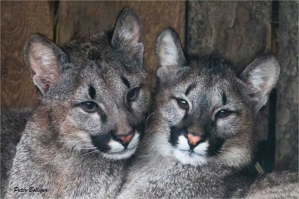 Cougar twins - February 2016