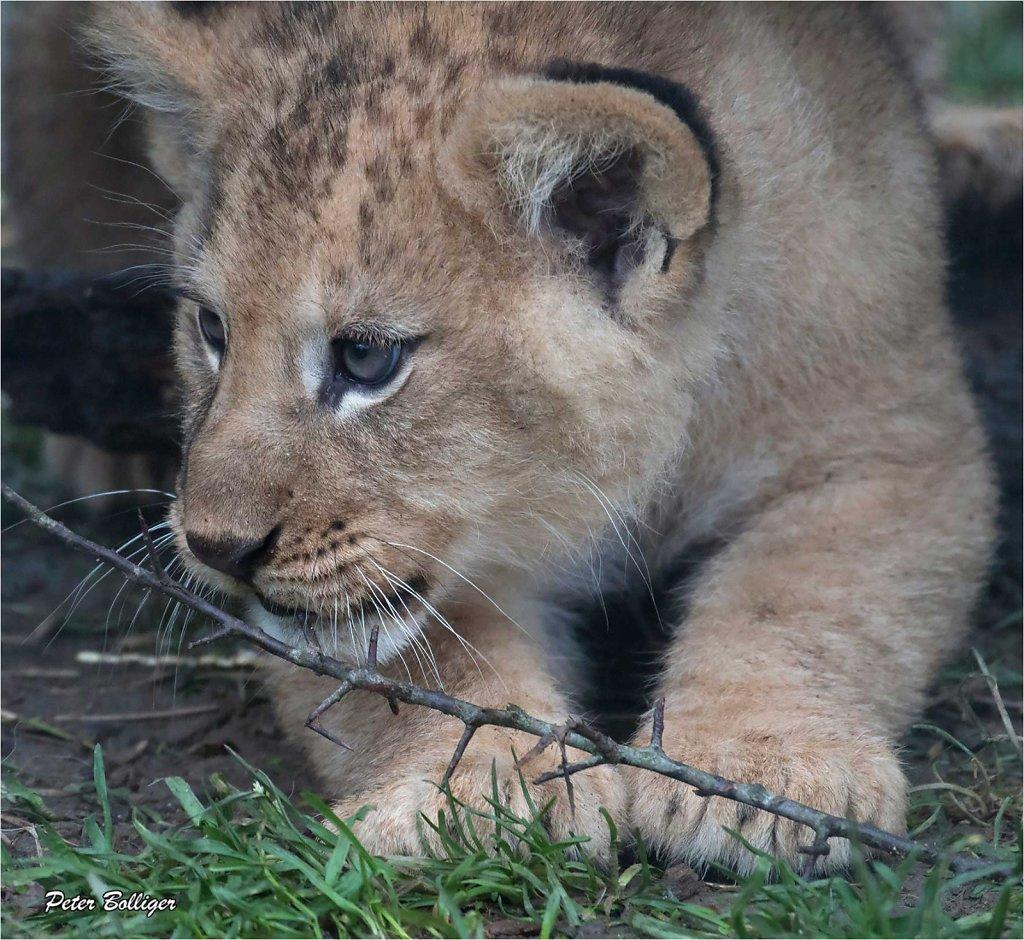 Barbary lion - February 2016