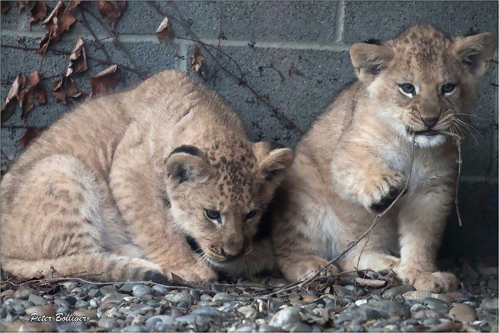 Barbary lions - February 2016