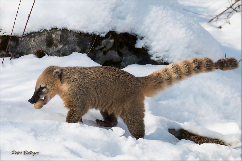 Ring tailed coati - January 2016