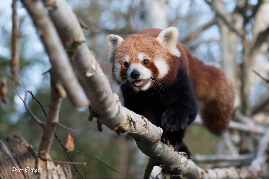 Lesser Panda - November 2015