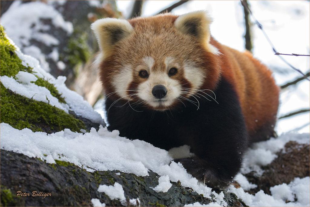 Lesser Panda - February 2016