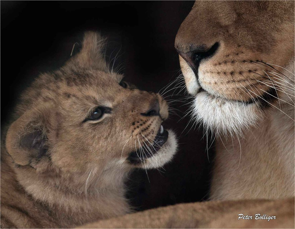 2016 Barbary lions - Plättli Zoo Frauenfeld