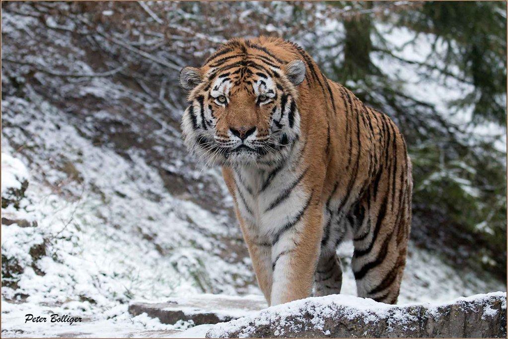Amur tigers 2016_17