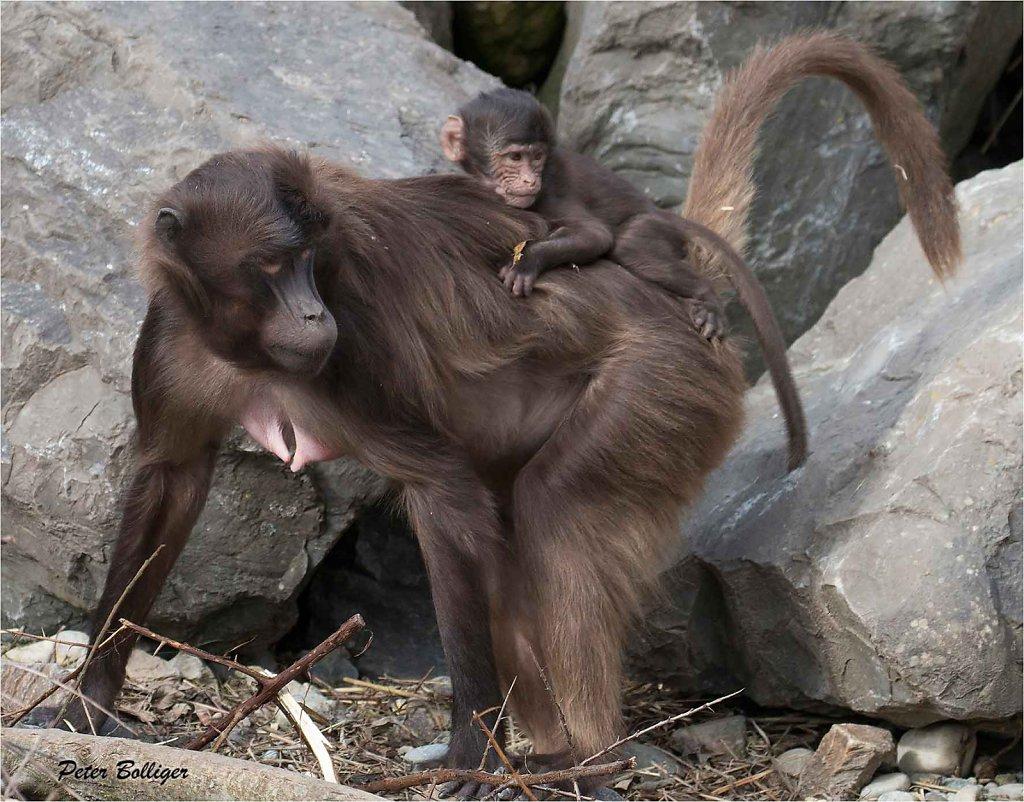 Gelada baboons - March 2016