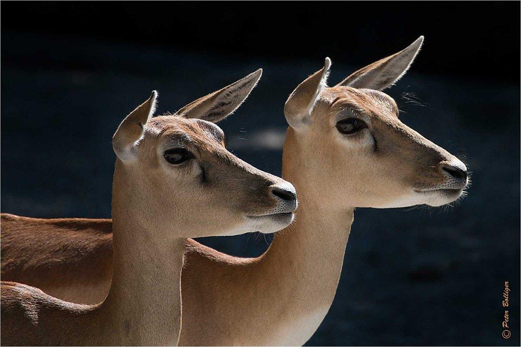 Blackbuck / Hirschziegenantilope