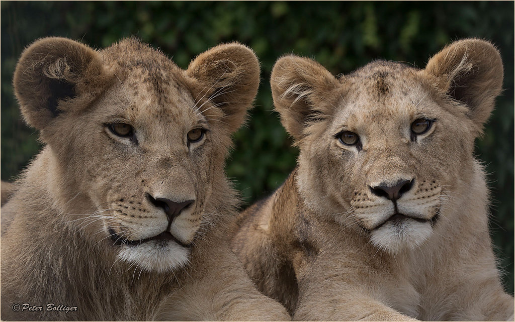 Barbary lion twins - August 2016