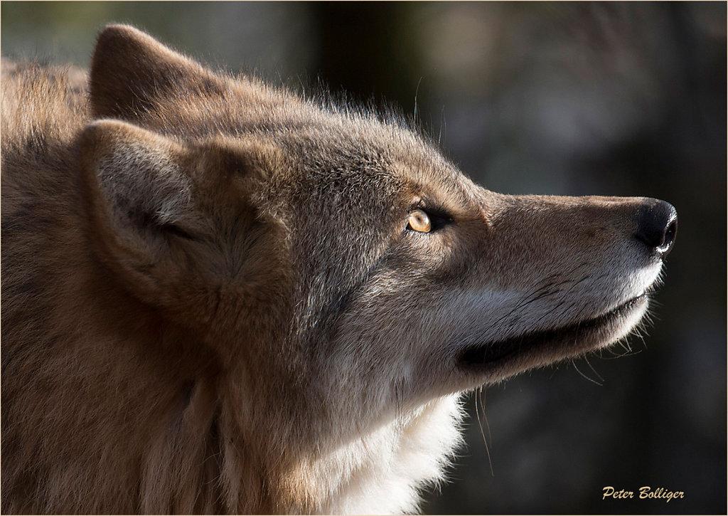 Mongolian wolf - Zoo Zürich