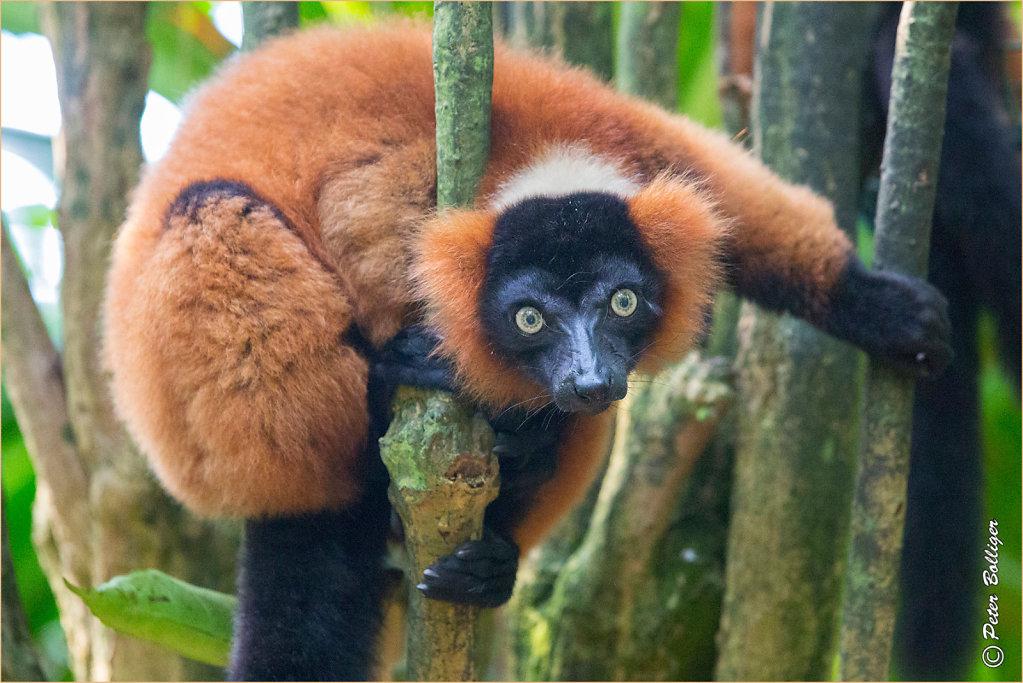 Red ruffed lemur/Roter Vari  - July 2016