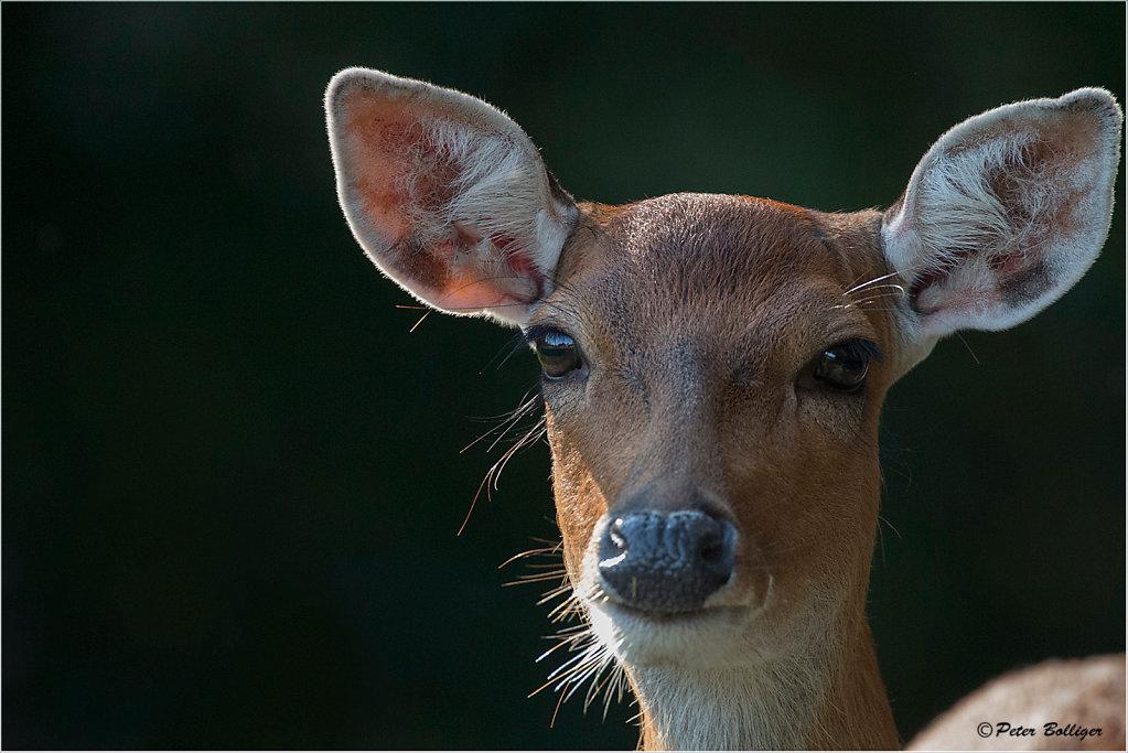 Sika deer - September 2015