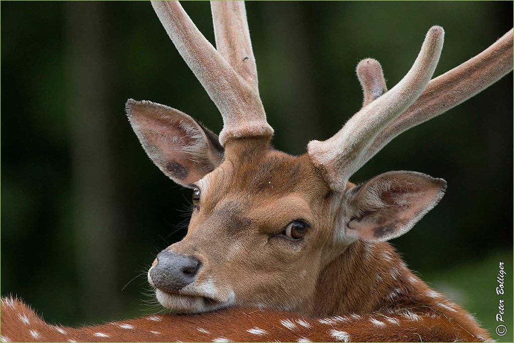 Sika deer - June 2016