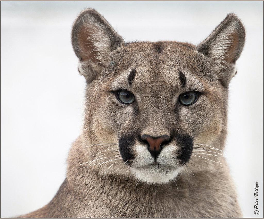 Cougar - September 2016