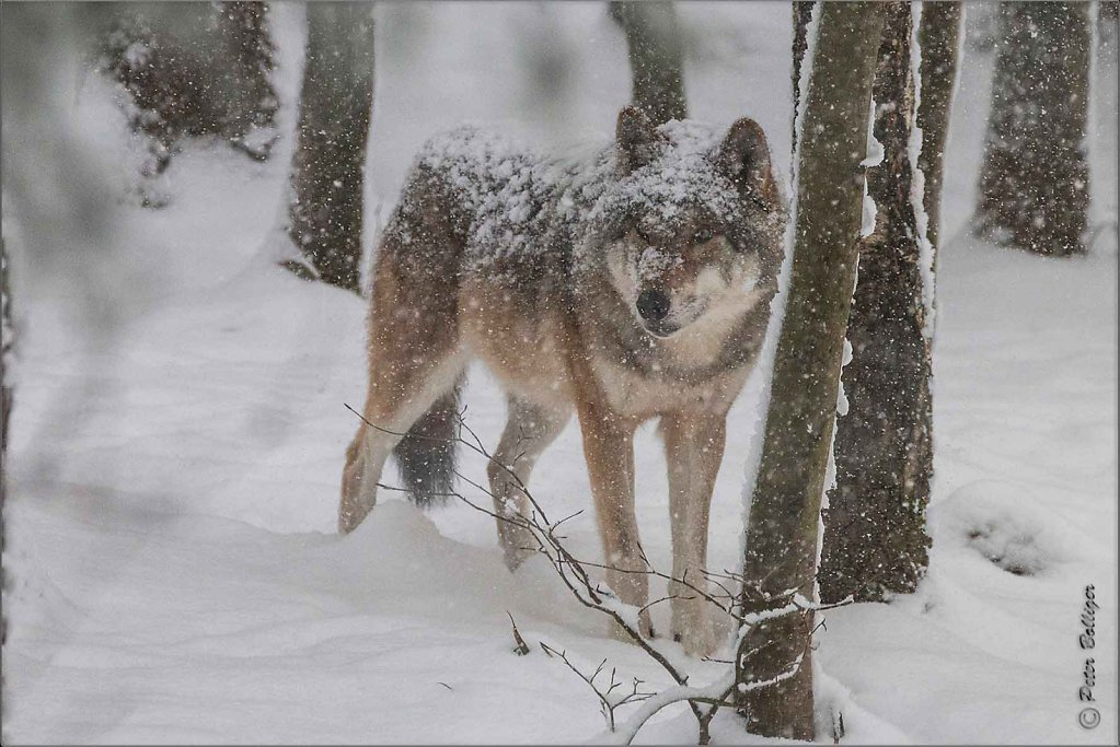Almost white wolf - January 2017