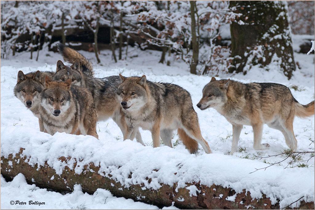 Grey wolves - January 2017